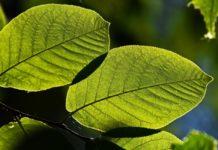 экология, лист, зелень, дерево, парк